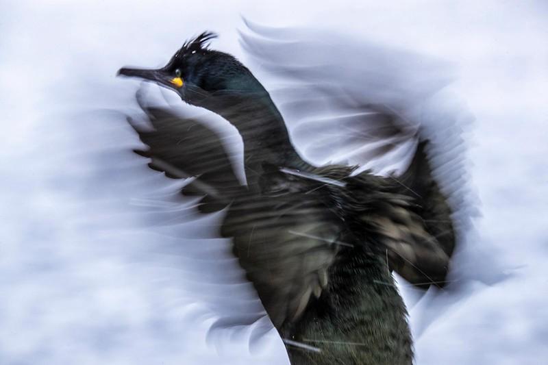 Artic Seabirds :: Kites in the Sky