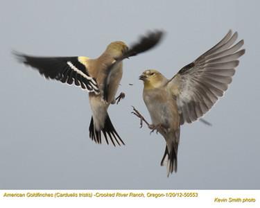 AmericanGoldfinches50553.jpg