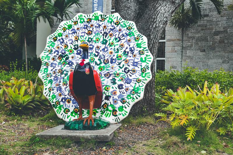 Coconut Grove Peacock