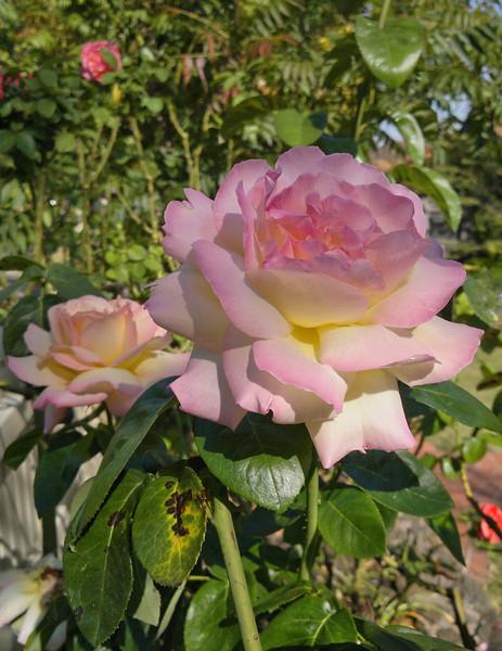 20120209_0957_181 rose