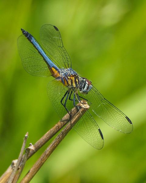Blue Dasher, male