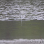 Red Phalarope - 1st seen and photographed from road