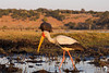 Yellow Billed Stork fishing