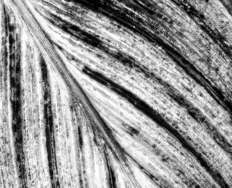 canna-leaf-5.jpg