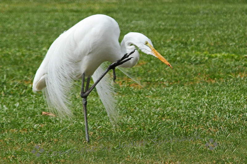Got an Itch? ~ This Great Egret took time out from hunting and eating to scratch an itch.   I shot about 8 pics of him scratching before he was done.  This one gives a good look at his foot; those claws look good for scratching.