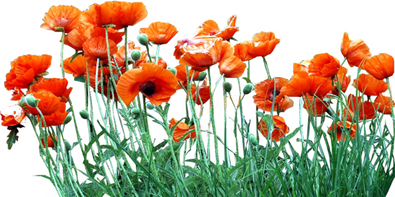 bed_of_orange_poppies_by_lilipilyspirit-d4zfywh.png
