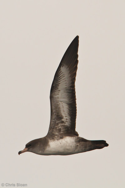 Pink-footed Shearwater at pelagic out of Bodega Bay, CA (10-15-2011) - 056.jpg