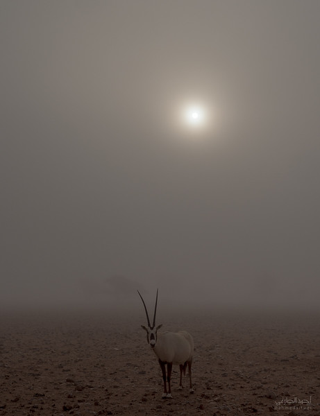 Arabian Oryx (79).jpg