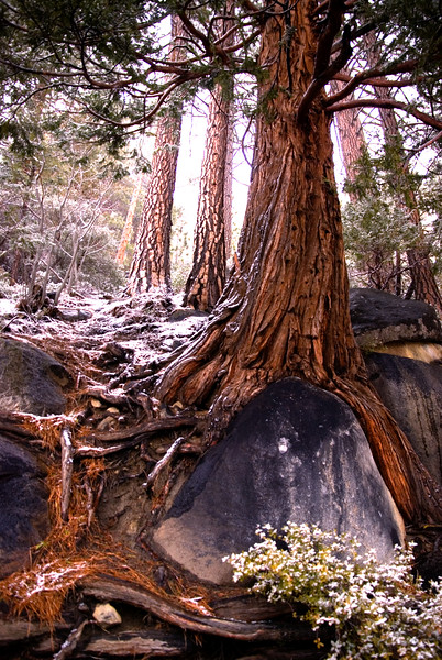 Mountain Tree, Sierra Mountains, CA
