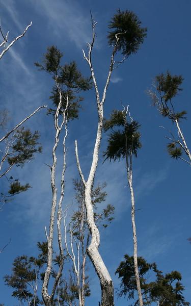Skelettartige Bäume
