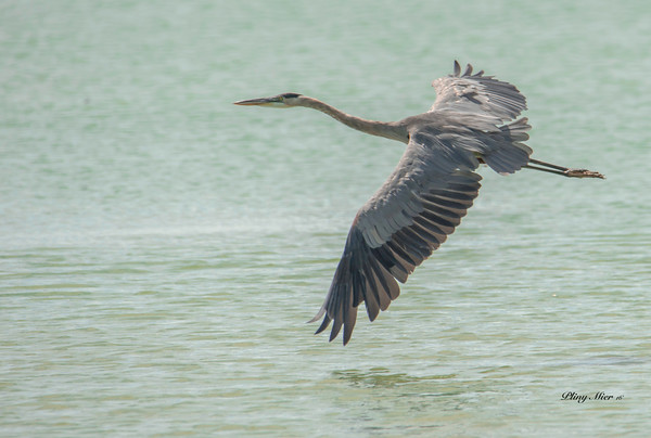 Great Blue Heron IF_DWL5835.jpg