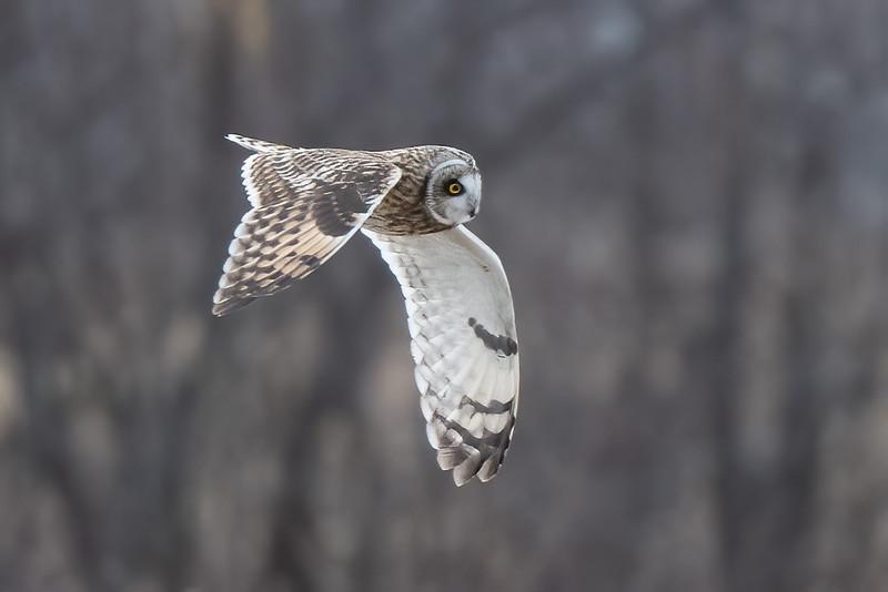 #1571 Short-eared Owl