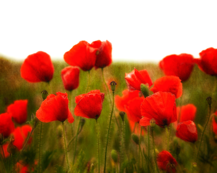 Poppies on the south Downs in East Sussex, England