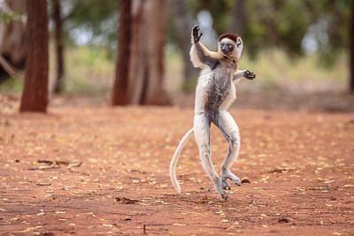 Madagascar Mammals