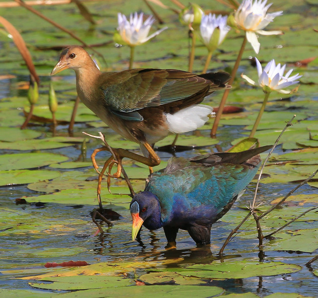 zAnahuac 8-21-14, Old T3i, 093A, PG adult and Juvenile on Lilies (1 of 1).jpg