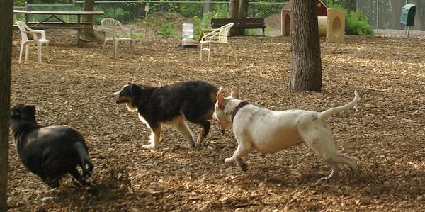 july 1 resize::POWDER (pitbull girl), Oliver (pup)
