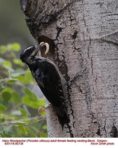 Hairy Woodpecker F90738.jpg