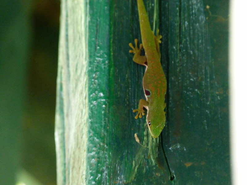 HPPhelsumaLateralisMadDayGecko087 Nov 9, 2010  11:24 a.m.  P1000087 Madagascar Day Gecko, Phelsuma laateralis, at NP near Ranomafana and Bellvue.