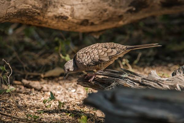 Inca Dove_DWL1325.jpg