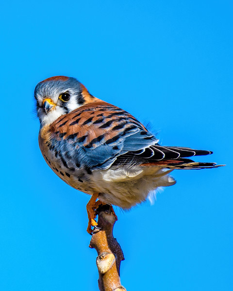 Kestrel on Branch-8737.jpg