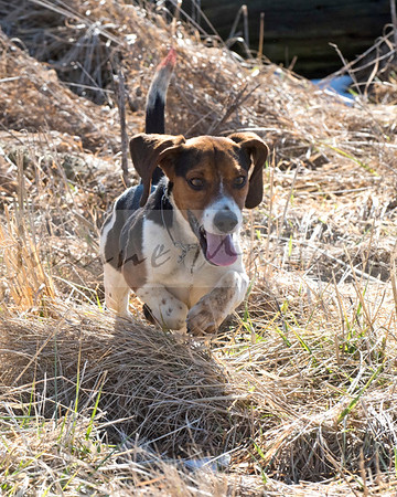 N-T Beagles/Waldingfield Beagles at Farnley 2-18-18