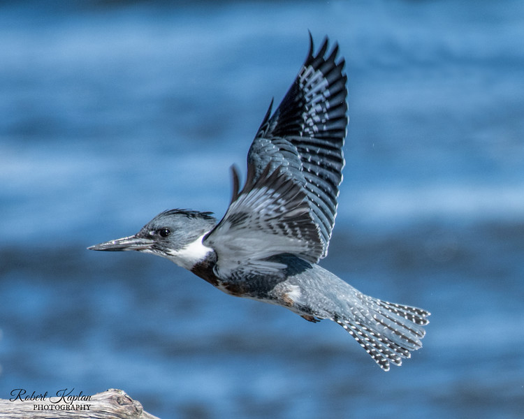 Belted Kingfisher-3657.jpg