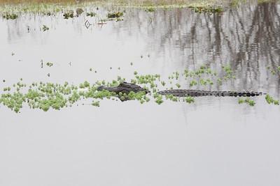 untitled20110203_Alligator MyakkaLakeFL_7I2B4402_11-02-03
