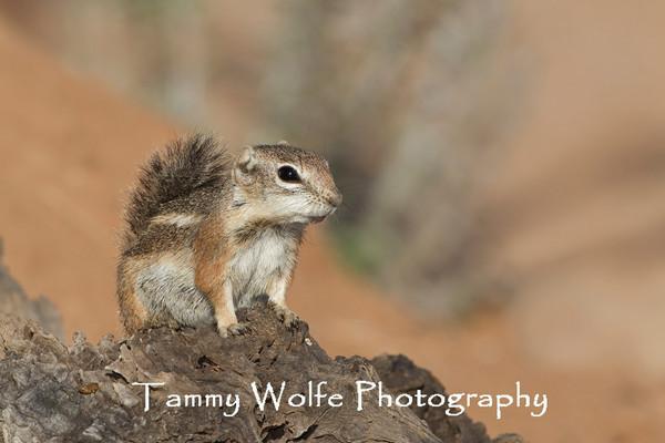 Squirrel, Harris Antelope