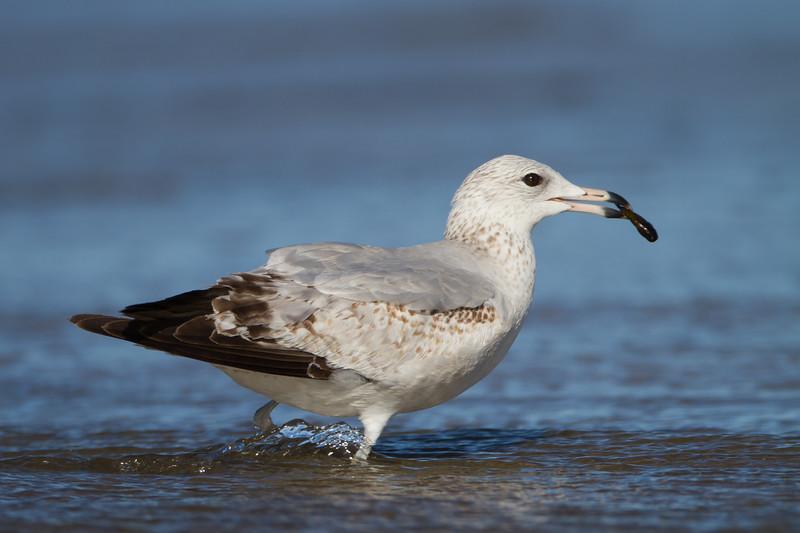 California Gull - Milpitas, CA