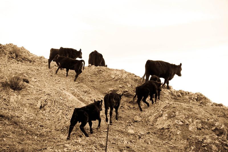 cows6 (1 of 1).jpg