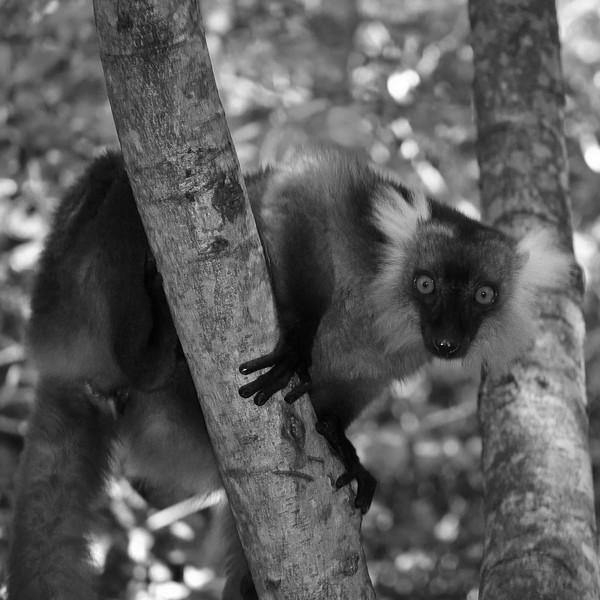 Lémurien_Madagascar.JPG