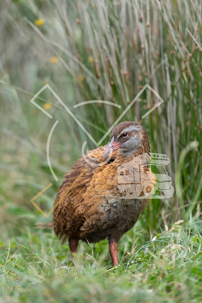 Portrait of Western or southern weka, also known as Maori hen or woodhen