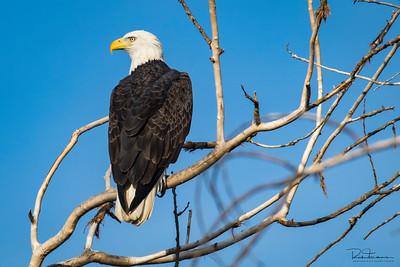 Eagles ~ Atascadero Lake CA ~ 2017