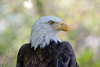 Eagles & Ospreys