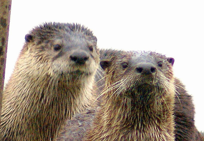. Two handsome river otters. (Courtesy of Krist Jensen)