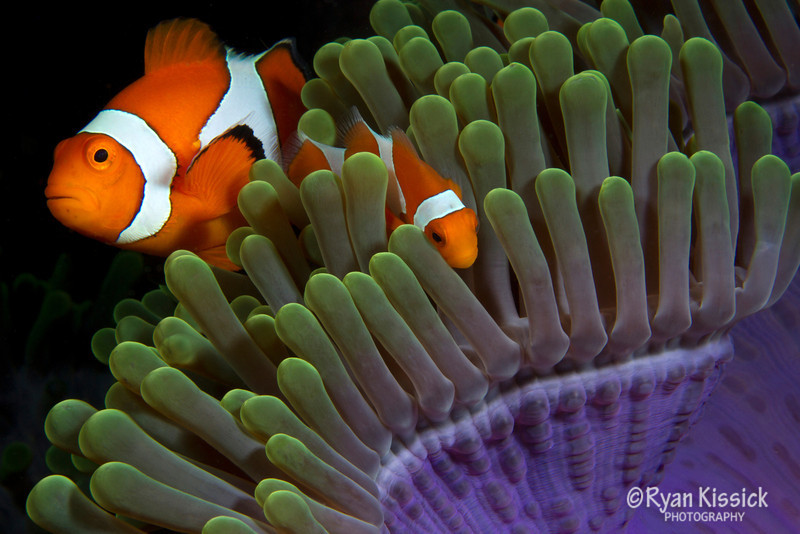 Pair of false clown anemonefish in a beautiful anemone