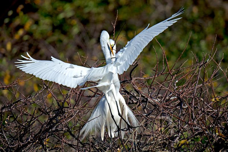 Great Egrets nesting behavior