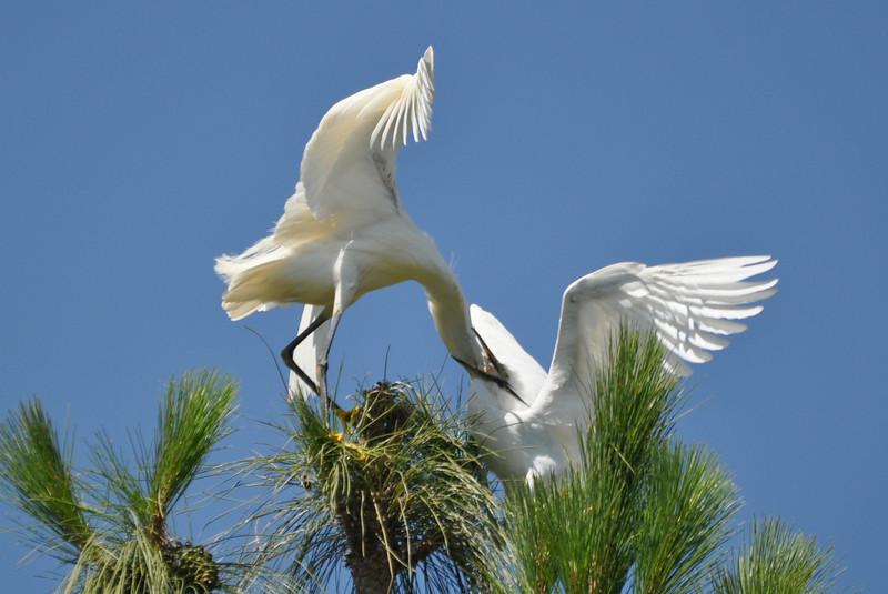 Egret Feeding 1.JPG