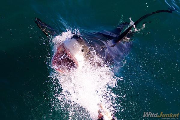Shark Cage Diving at Gaansbai