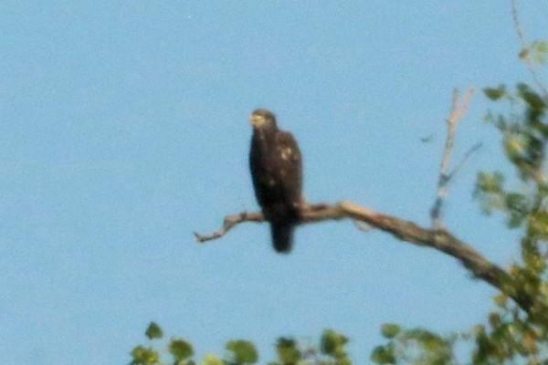 Bald Eagle (Immature) @ Kaskaskia Island