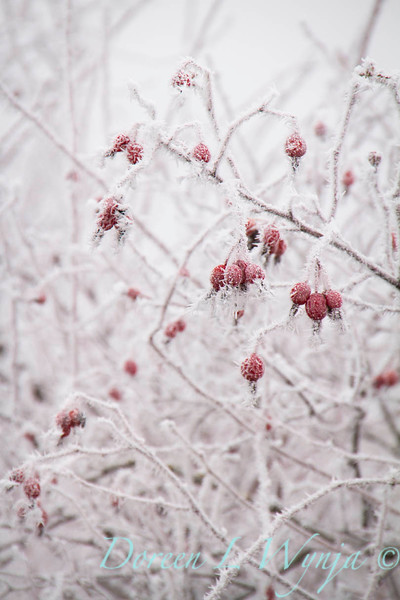 Winter frosted red rosehips_9472.jpg