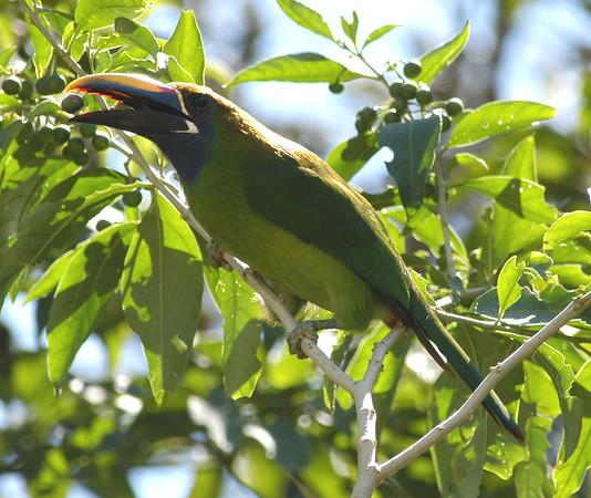 Toucanette Costa Rica