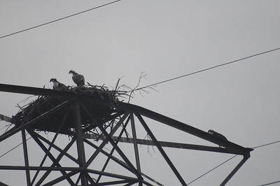 Osprey at Camp