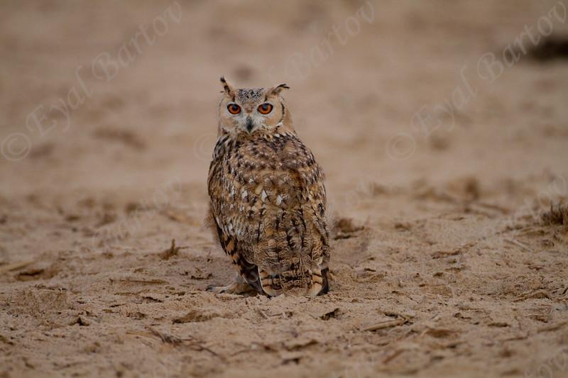 אוח מדברי / Pharaoh Eagle-Owl / Bubo ascalaphus