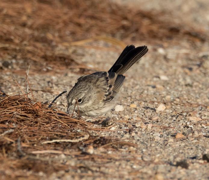 Bell`s Sparrow Crammer Junction Solar Ponds 2016 07 17 -2.CR2