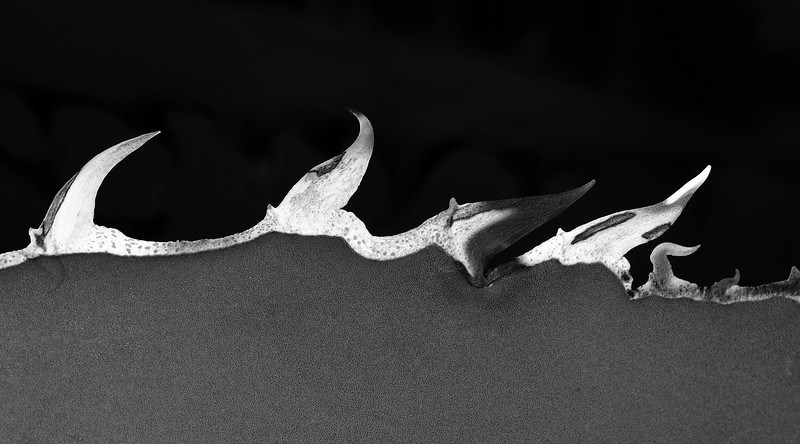DSC_1411 Agave Thorns crpd ALA ss bw PS-002.jpg
