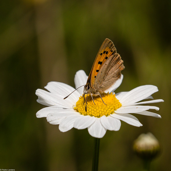 Small Copper on Oxeye Daisy