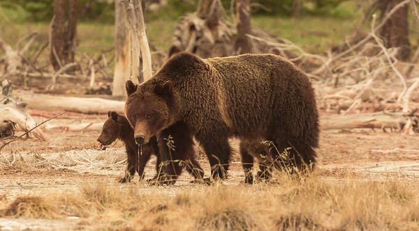 Yellowstone grizzly bears....