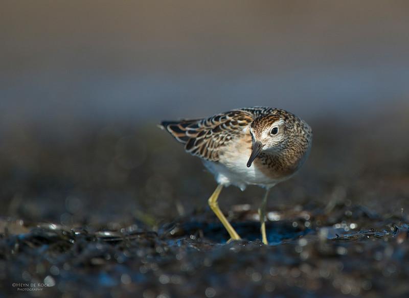 Sharp-tailed Sandpiper, Shoalhaven Heads, Oct 2012-3.jpg