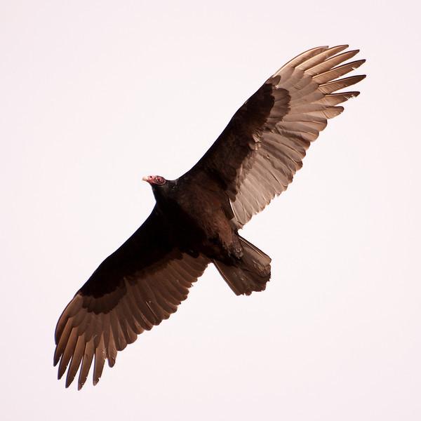 SC4936 Vulture SR.jpg